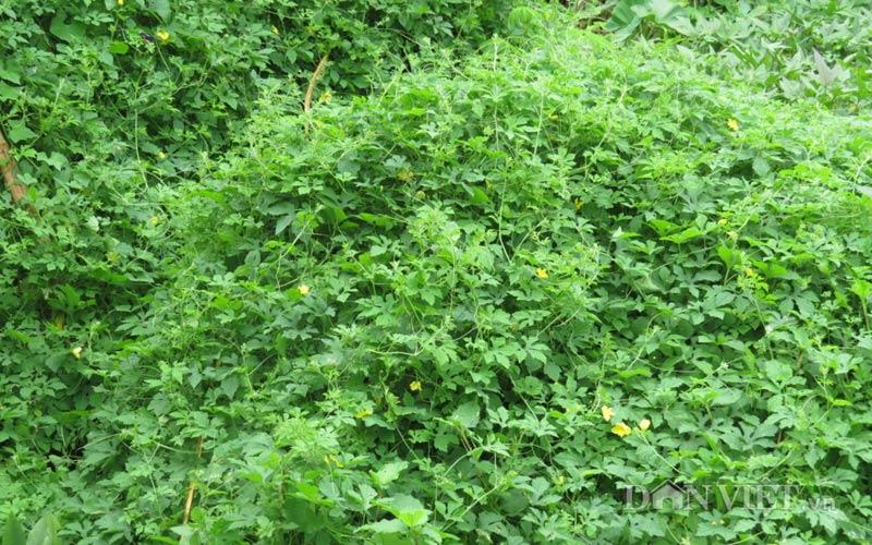 cây khổ qua rừng