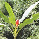 Chuối hột rừng và công dụng trị bệnh từ gốc đến ngọn của cây