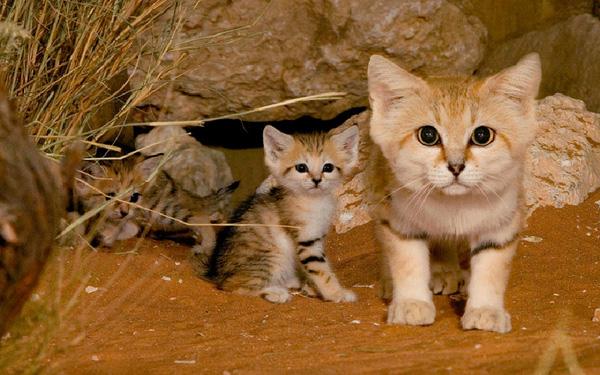 mèo rừng châu á