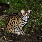 Mèo rừng – Loài động vật nhỏ nhưng quý hiếm trên thế giới