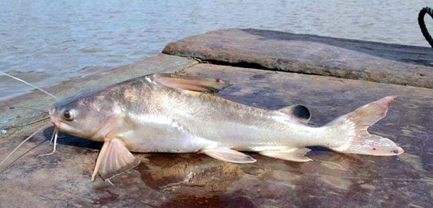 Cá lăng