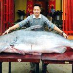 Cá Tra Dầu loài cá nước ngọt lớn nhất thế giới