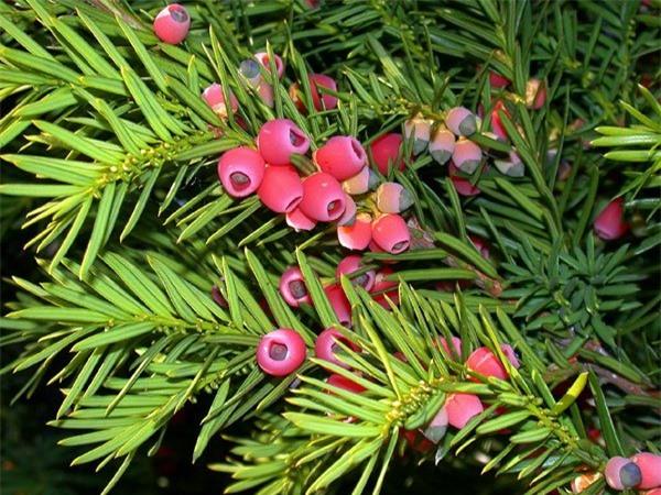 Hoa thông đỏ