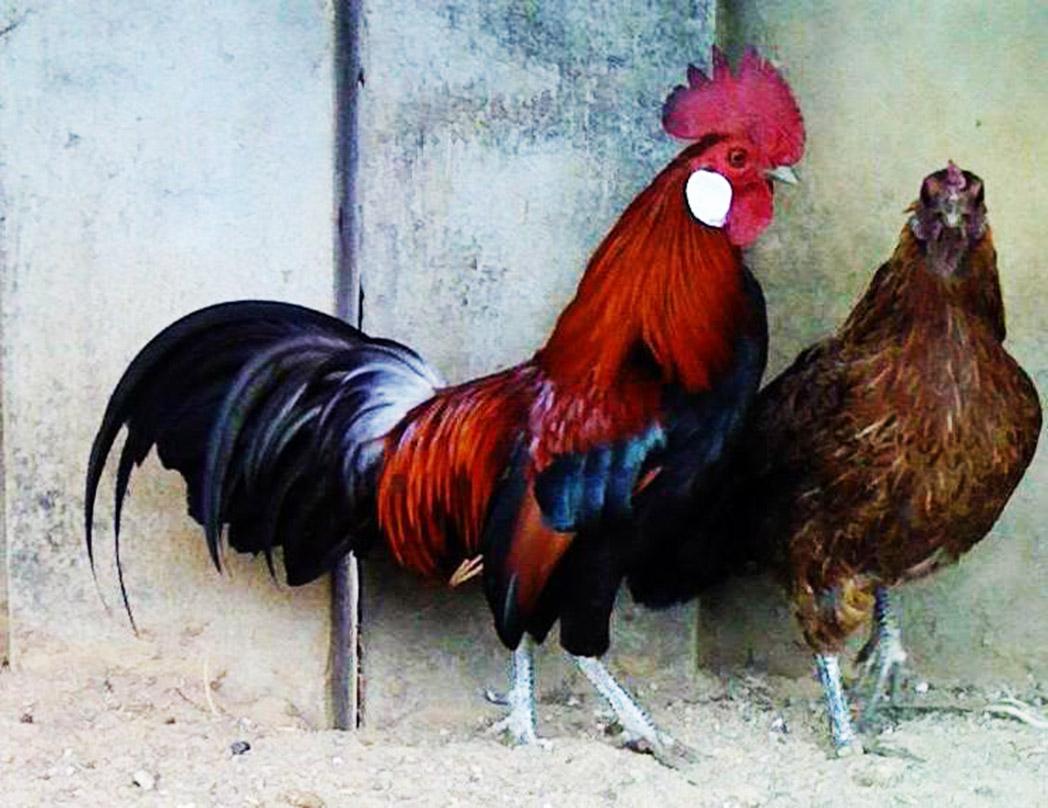 Một cặp gà rừng