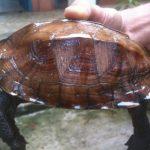 Rùa Sa Nhân một loài rùa quý hiếm của Vườn Quốc Gia Cúc Phương