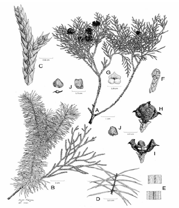 các loại cây hạt trần