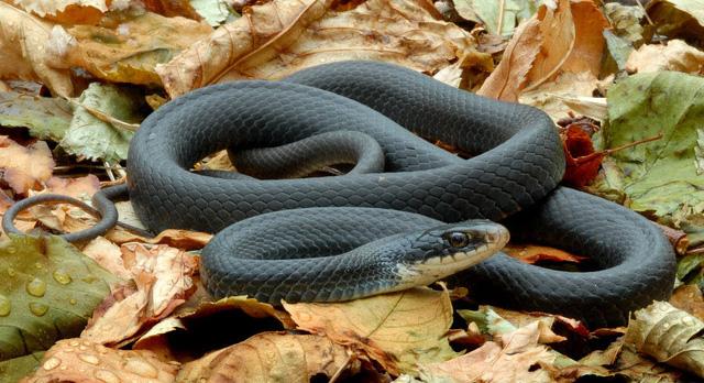 rắn mamba đen châu phi
