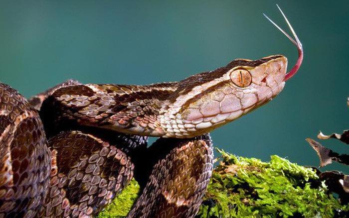 rắn Fer-de-lance