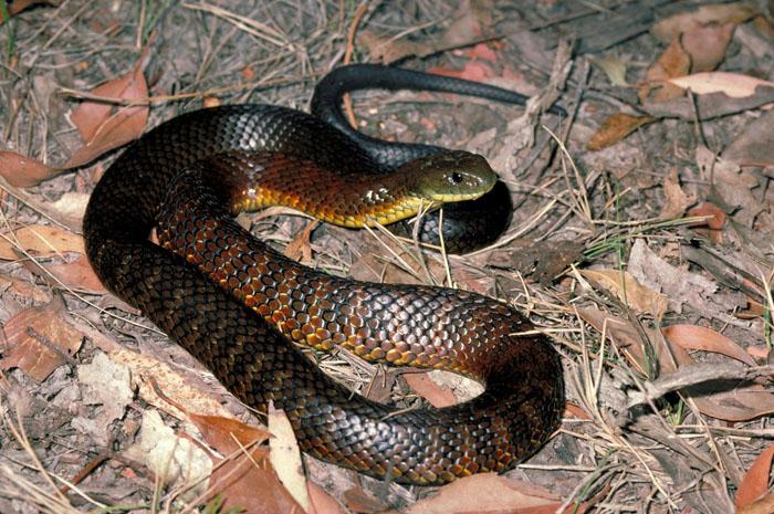rắn độc úc
