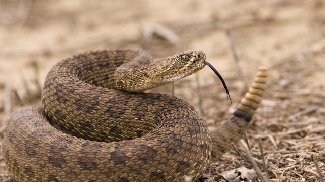 rắn đuôi chuông