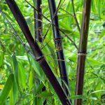 Trúc đen loài cây kỳ lạ có nguy cơ tuyệt chủng
