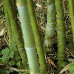 Trúc hóa long loài cây kỳ lạ có nguy cơ tuyệt chủng tại Việt Nam