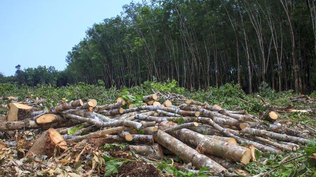 Thực trạng rừng nguyên sinh