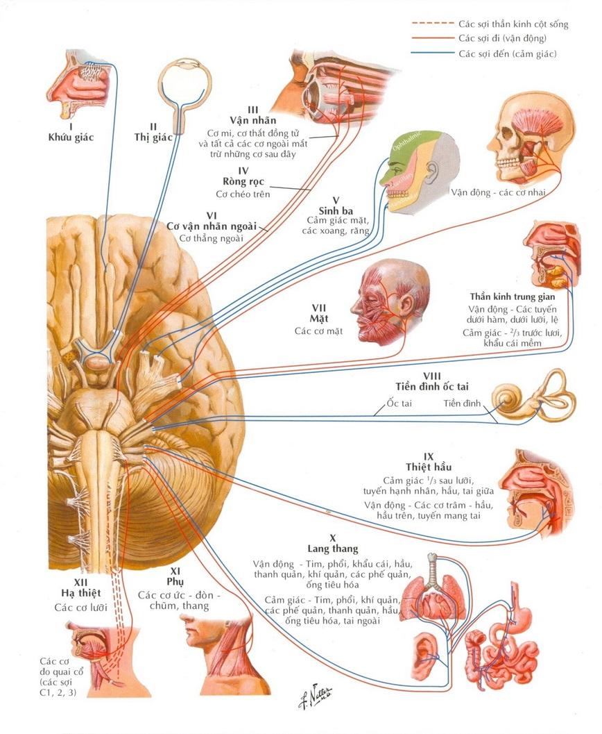 12 dây thần kinh sọ não