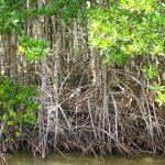 Cây đước phòng hộ – vệ sĩ bờ biển vùng ngập mặn