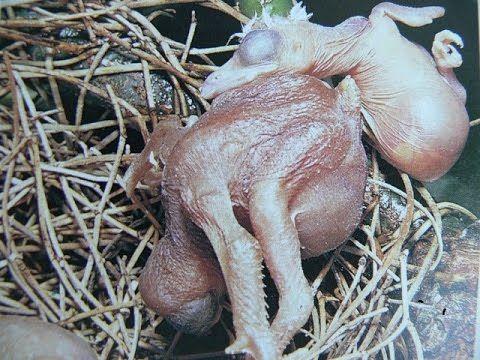 chiến thuật gửi trứng của tu hú