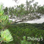 Cây thông 5 lá loại cây chỉ có ở Việt Nam cả thế giới chưa biết
