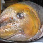 Cá anh vũ là loài cá mang giá trị cao