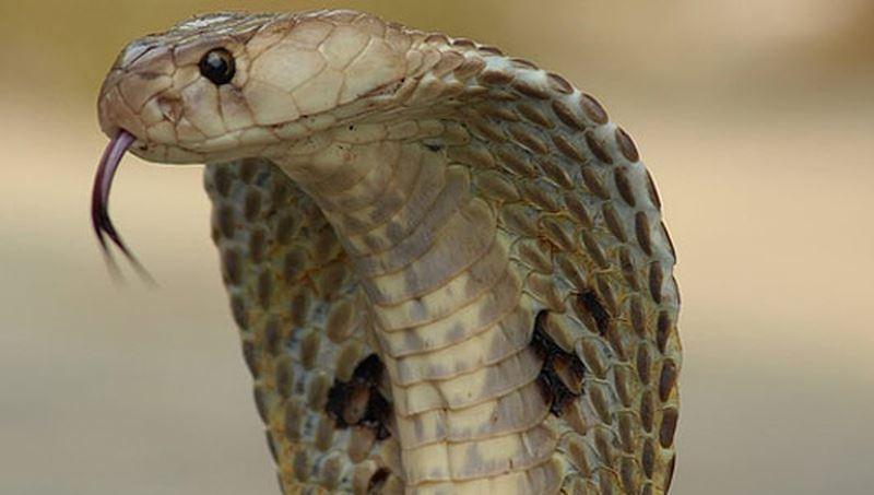 Đặc điểm rắn hổ mang chúa