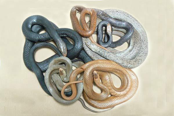 rắn Eastern Brown