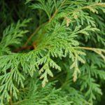 Bách xanh loài cây quý cần bảo tồn
