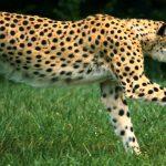 Báo gấm loài động vật đang có nguy cơ tuyệt chủng cần bảo vệ