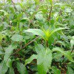 Cây bầu đất: Loài cây chữa bách bệnh ít người biết đến