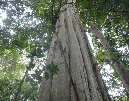 cây gỗ đỏ