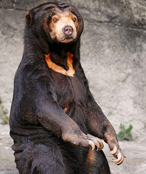 gấu chó là con gì