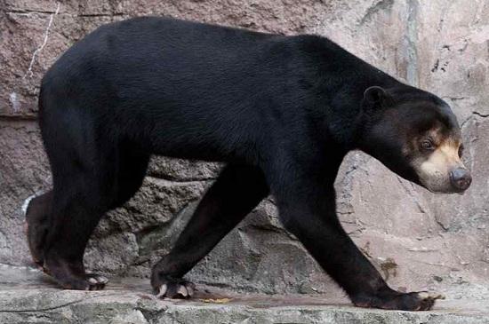 gấu chó