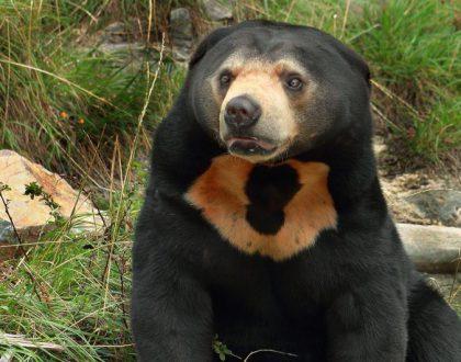 con gấu chó