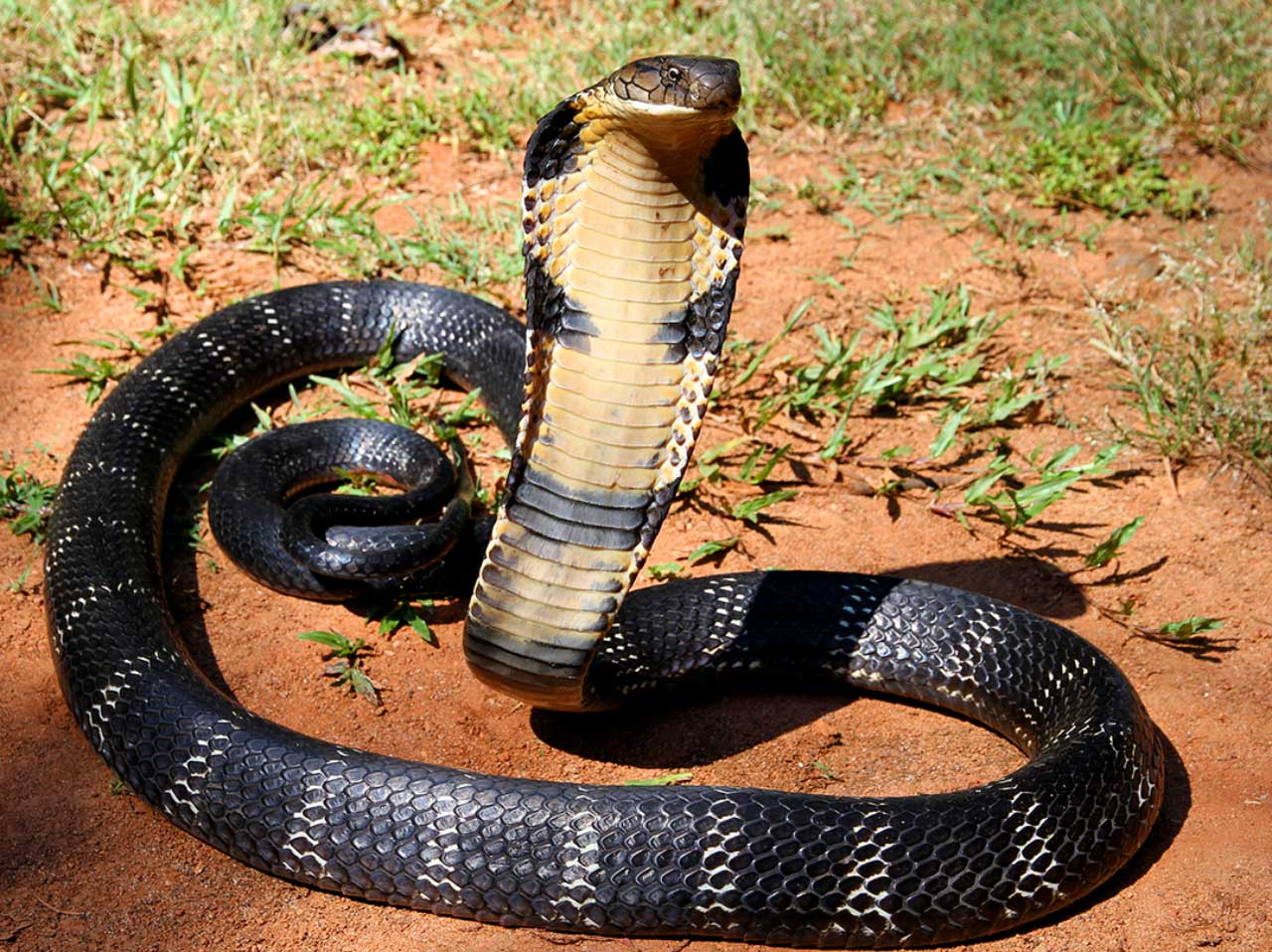 rắn hổ mang Philippines
