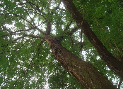 cây trắc