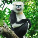 Voọc mũi hếch sinh vật đặc hữu chỉ có tại Việt Nam