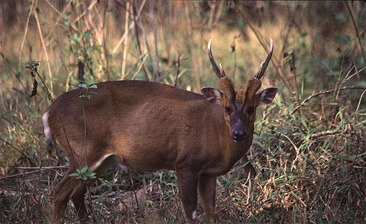 Mang lớn được phát hiện ở vườn quốc gia Vũ Quang