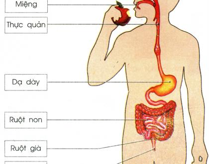 quá trình tiêu hóa ở người