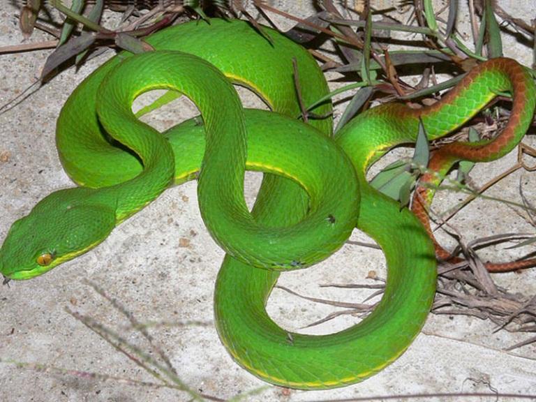 bột rắn lục chữa thoái hóa cột sống