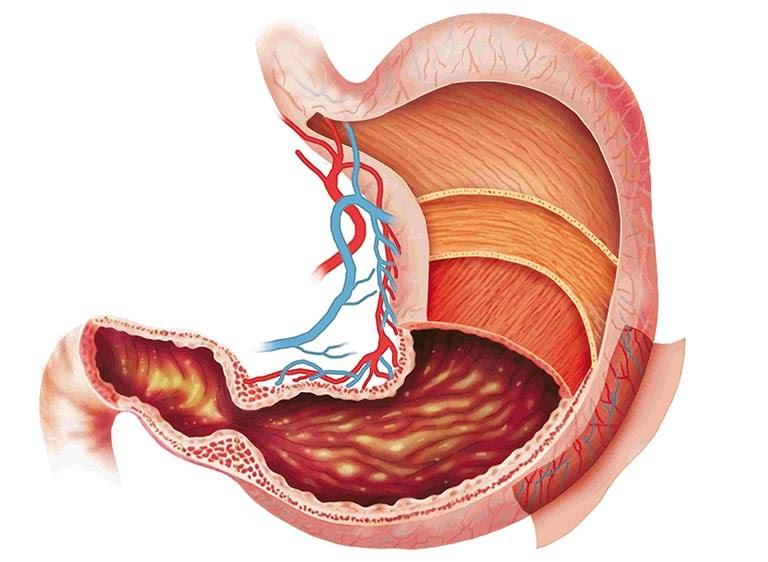 cấu tạo của dạ dày