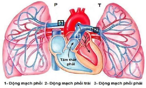 Nhu mô phổi được nuôi dưỡng bởi gì