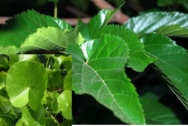 chữa viêm phế quản cấp bằng rau má và dâu tằm