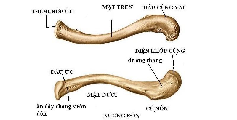 Cấu tạo xương đòn